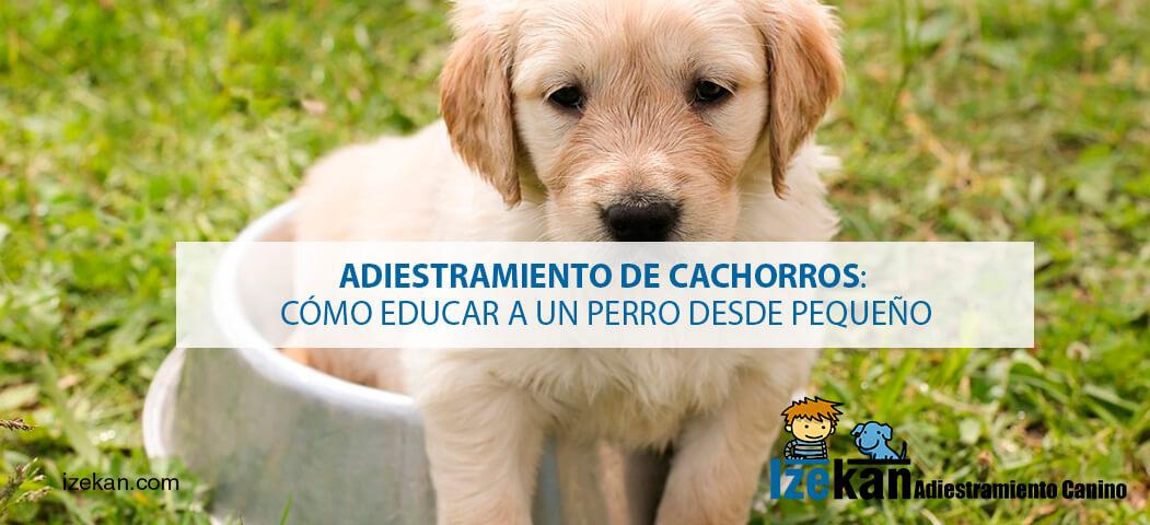 adiestramiento de cachorros. Cómo educar a un pero desde cachorro. Adiestramiento de cachorros de forma profesional.