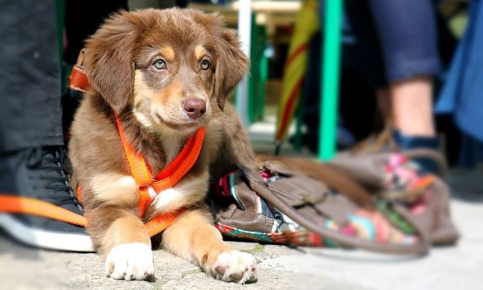 adiestrar perro. Adiestramiento de cachorros para que sean obedientes. Cómo conseguir que tu cachorro pasee a tu lado