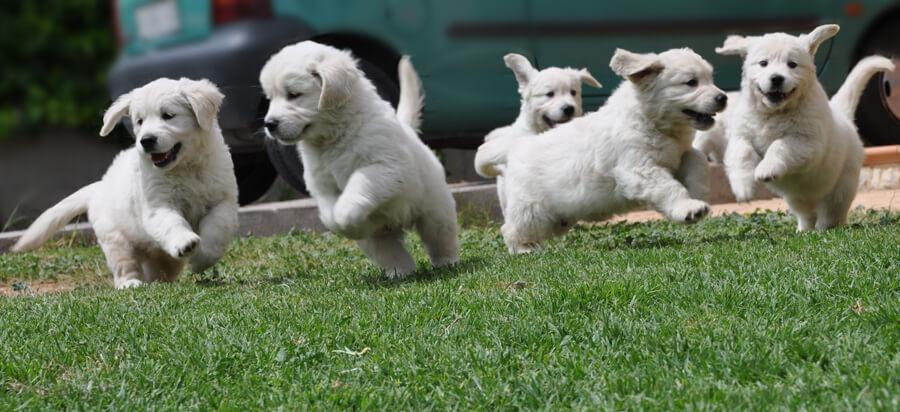 estimulación mental. Cachorros jugando Izekan