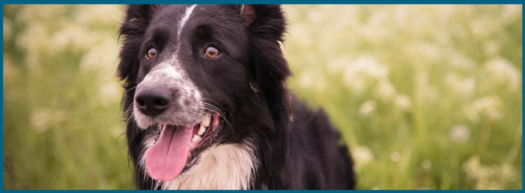 Causas de coprofagia canina