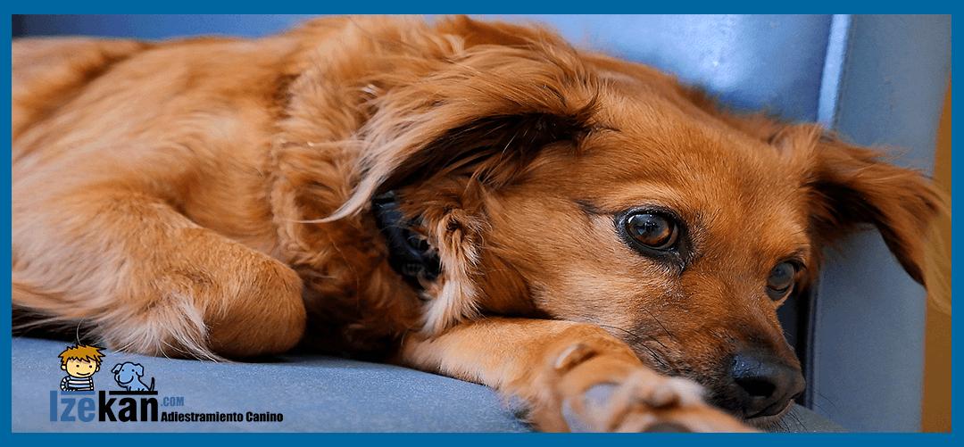 Qué hacer si tu perro llora cuando te vas