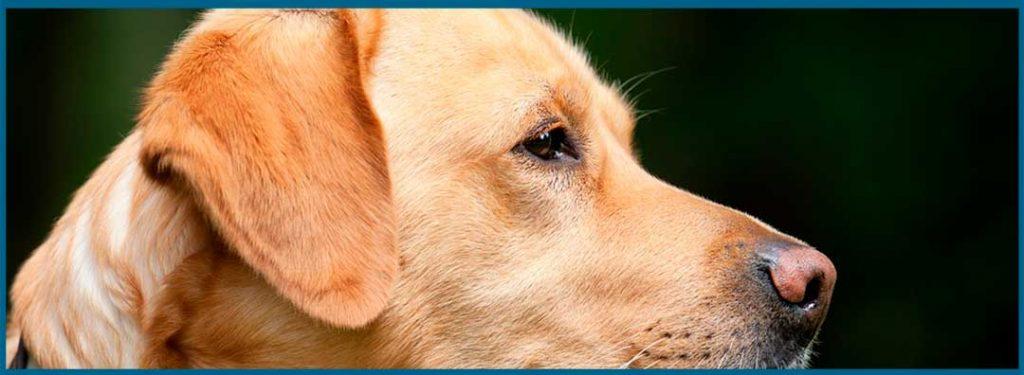 beneficios de castrar a tu perro