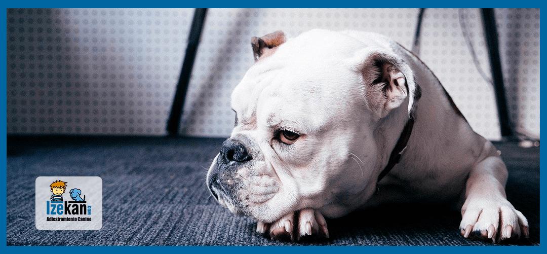Tratamiento de las estereotipias en perros